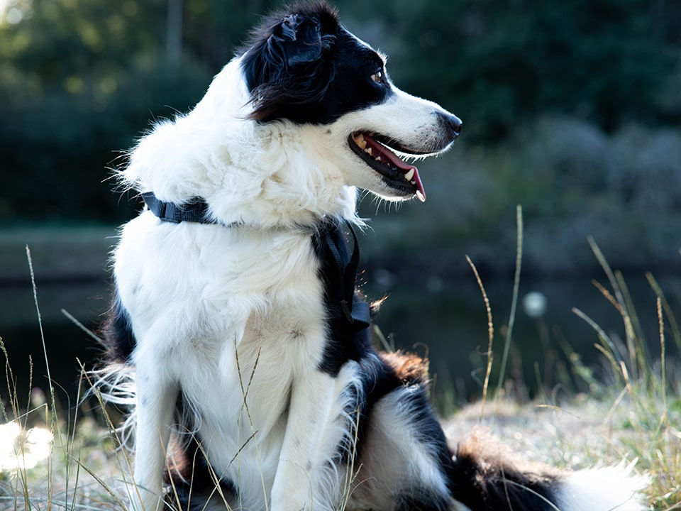 Border Collies are a highly intelligent dog breed
