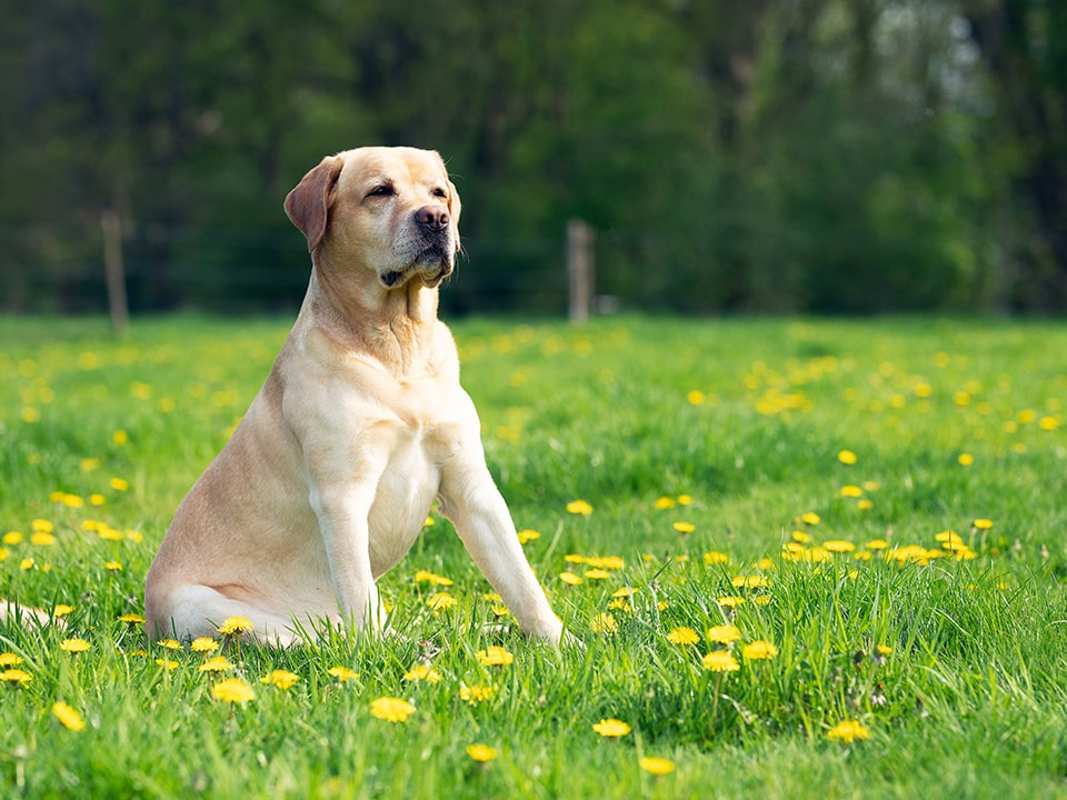 The Labrador Retriever is a great all-round breed of dog