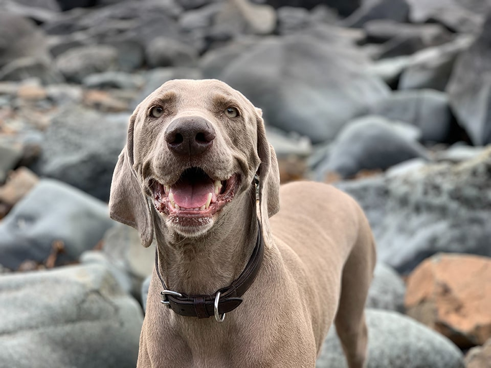 Weimaraner's are a great hunting dog